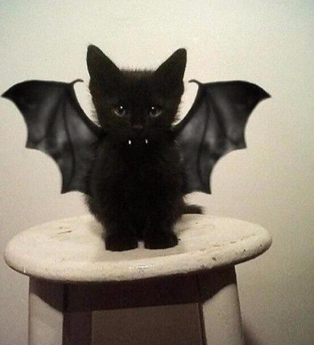 Bat cat costume, cute Halloween costumes for pets, DIY costumes for pets, easy costumes for pets