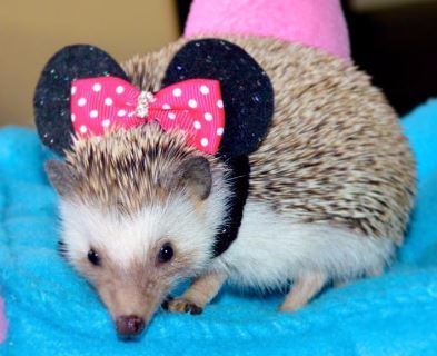 Minnie Mouse costume for hedgehog, pet costumes, cute pet costumes for Halloween diy pet costumes